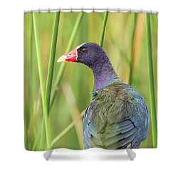 Purple Gallinule Shower Curtain