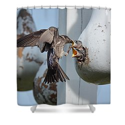 Purple Martin Feeding Chicks Shower Curtain