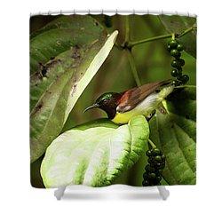 Purple-rumped Sunbird Shower Curtain by Venura Herath