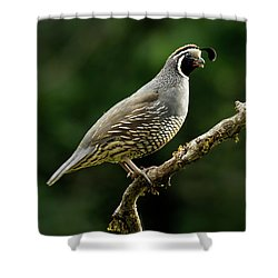 Quail  Shower Curtain by Inge Riis McDonald