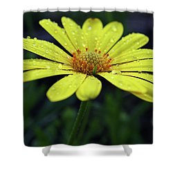 Shower Curtain featuring the photograph Raindrops On Daisy by Judy Vincent