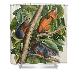 Red Bellied Squirrel  Shower Curtain