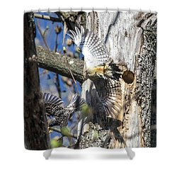 Red Bellied Woodpecker Chasing An Attacking Starling Shower Curtain