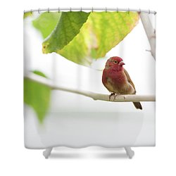 Shower Curtain featuring the photograph Red Bird by Raphael Lopez