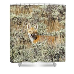 Red Fox In Sage Brush Shower Curtain