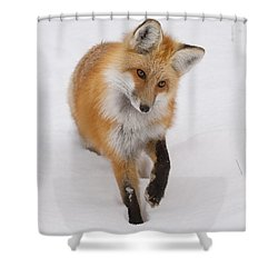Red Fox Portrait Shower Curtain