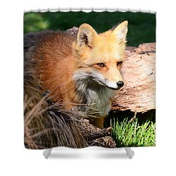 Red Fox On Patrol Shower Curtain
