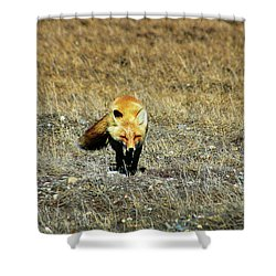 Shower Curtain featuring the photograph Red Fox On The Tundra by Anthony Jones
