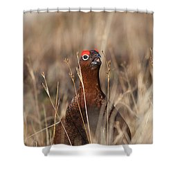 Red Grouse Calling Shower Curtain