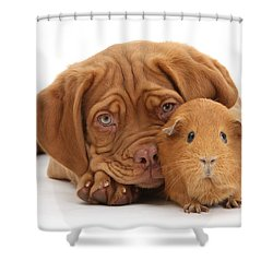 Red Guinea Pig And Dogue De Bordeaux Shower Curtain