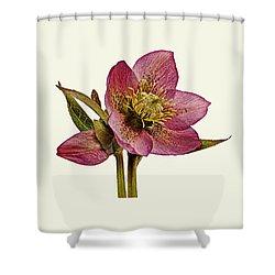 Red Hellebore Cream Background Shower Curtain
