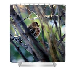 Red Poll, Resting Shower Curtain