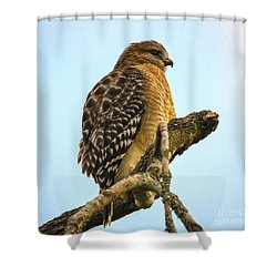 Red-shouldered Hawk - Buteo Lineatus Shower Curtain