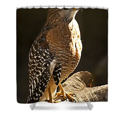 Red-shouldered Hawk Shower Curtain by Carolyn Marshall