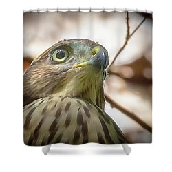 Red-shouldered Hawk Fledgling 3 Shower Curtain