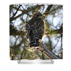 Red Shouldered Hawk Fledgling Shower Curtain