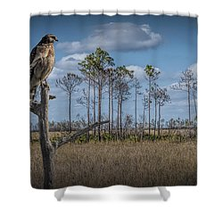 Red Shouldered Hawk In The Florida Everglades Shower Curtain