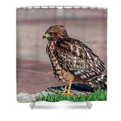 Red-shouldered Hawk Shower Curtain