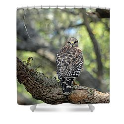 Red Shouldered Hawk Turning Head 180 Shower Curtain