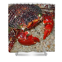 Red Spotted Crab Shower Curtain by Karon Melillo DeVega