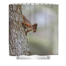 Red Squirrel Climbing Down A Tree Shower Curtain