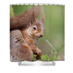 Red Squirrel - Scottish Highlands  #17 Shower Curtain