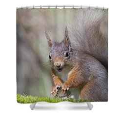 Red Squirrel - Scottish Highlands #26 Shower Curtain