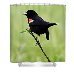 Red Winged Blackbird Shower Curtain by Alyce Taylor
