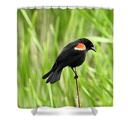 Red-winged Blackbird Shower Curtain by Brian Chase