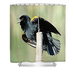 Shower Curtain featuring the photograph Red-winged Blackbird by Jack Moskovita