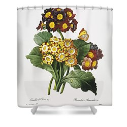 Redoute: Auricula, 1833 Shower Curtain by Granger