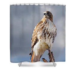 Redtail Portrait Shower Curtain