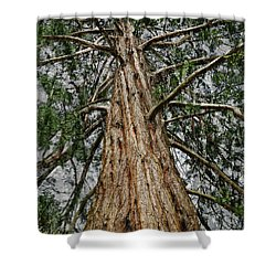 Redwood Reaches For The Sky Shower Curtain