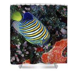 Regal Angelfish, Great Barrier Reef Shower Curtain