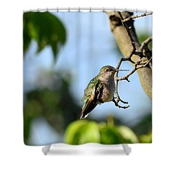 Resting Hummingbird Shower Curtain