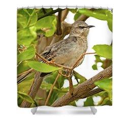 Resting Northern Mockingbird Shower Curtain