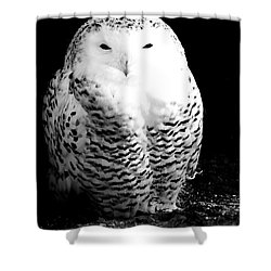 Resting Snowy Owl Shower Curtain by Darcy Michaelchuk