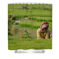 Rice Field Worker Harvests Rice In Green Field In Southeast Asia Shower Curtain