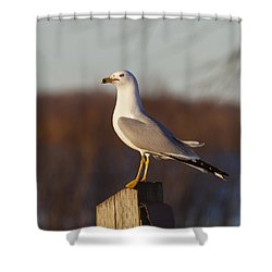 Ring Billed Gull Shower Curtain