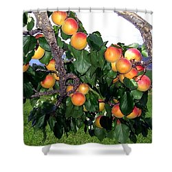 Ripe Apricots Shower Curtain by Will Borden