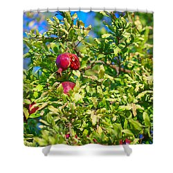 Ripe Pomegranate On The Tree In Jerusalem During Sukkoth Shower Curtain