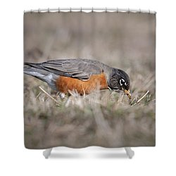Shower Curtain featuring the photograph Robin Pulling Worm by Tyson Smith