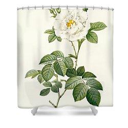 Rosa Alba Flore Pleno Shower Curtain by Pierre Joseph Redoute