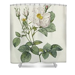 Rosa Alba Foliacea Shower Curtain by Pierre Joseph Redoute