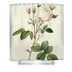 Rosa Centifolia Mutabilis Shower Curtain by Pierre Joseph Redoute