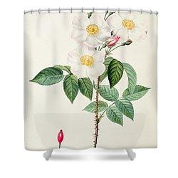 Rosa Damascena Subalba Shower Curtain by Pierre Joseph Redoute