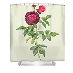 Rosa Gallica Gueriniana Shower Curtain by Pierre Joseph Redoute