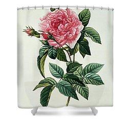 Rosa Gallica Regalis Shower Curtain by Pierre Joseph Redoute