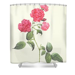 Rosa Indica Caryophyllea Shower Curtain by Pierre Joseph Redoute