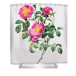 Rosa Lumila Shower Curtain by Pierre Joseph Redoute